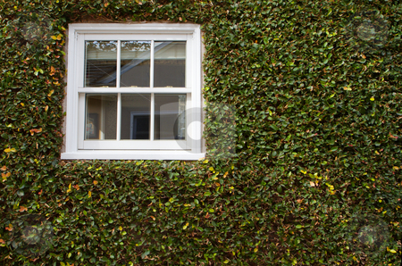 Green ivy covered wall with white window stock photo, Green ivy covered wall with white window by bobkeenan