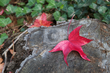 Red leaf tree trunk soft background stock photo, Fall colors of red leaf against a tree trunk with soft focus ivy background by bobkeenan