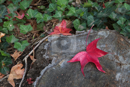 Red leaf tree trunk stock photo, Fall colors of red leaf against a tree trunk with soft focus ivy background by bobkeenan