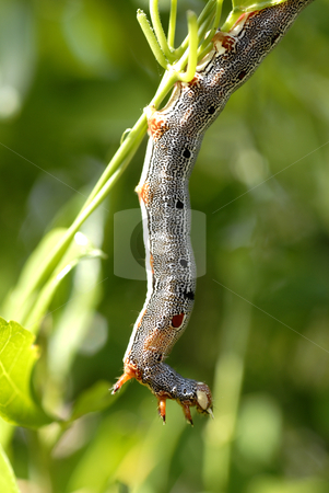 Caterpillar on a leaf stock photo, Colorful caterpillar climbing from one leaf to another by Mornay Van Vuuren