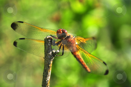 Dragonfly stock photo, brown dragonfly closeup with green background outdoors by Tudor Antonel adrian