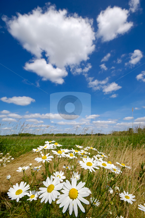 Chamomile flowers stock photo, Chamomile flowers on field with blue and cloudy sky. by Lars Christensen