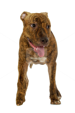 Staffordshire terrier dog stock photo, Staffordshire terrier dog on a clean white background  by Lars Christensen