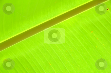 Green leaf stock photo, Green leaf of banana tree by phanlop88