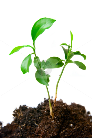 Young plant with dirt stock photo, Young plant with dirt on a white background by olinchuk