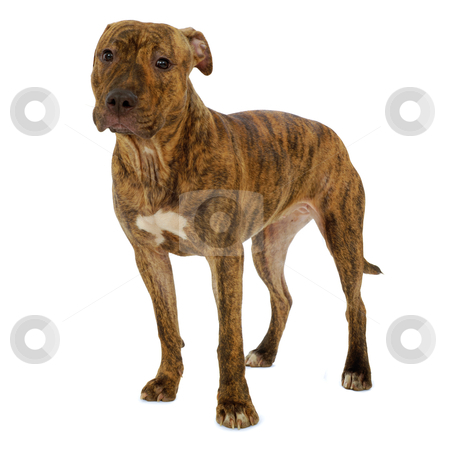 Dog on a clean white background stock photo, Staffordshire terrier dog standing on a clean white background  by Lars Christensen