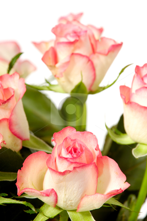 Roses on white stock photo, Pink and white rose flowers isolated on white background by Lars Christensen
