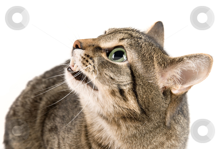 Angry cat  stock photo, Bare one's teeth Cat on white by olinchuk