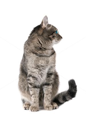Beauty Ca stock photo, Beauty Cat with green eyes on white by olinchuk