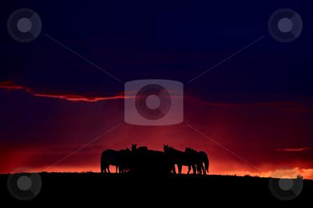 Set sun silhouetting horses on Saskatchewan ridge stock photo, Set sun silhouetting horses on Saskatchewan ridge by Mark Duffy