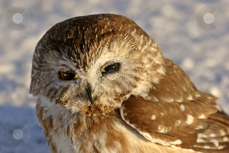 Northern Saw-whet Owl in winter stock photo, Northern Saw-whet Owl in winter by Mark Duffy