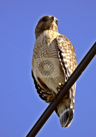 Broad winged Hawk perched in sunny Florida stock photo, Broad winged Hawk perched in sunny Florida by Mark Duffy
