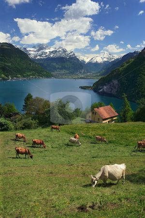 Lake Lucerne stock photo, Looking over fields, cows, and Lake Lucerne in Switzerland by © Ron Sumners