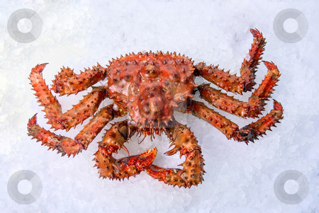 King crab stock photo, King crab on a white ice background by olinchuk