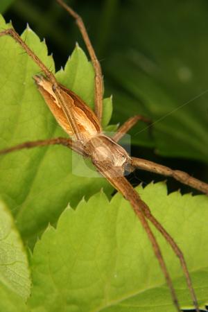 Nursery web spider (Pisaura mirabilis) stock photo, Nursery web spider (Pisaura mirabilis) on a leaf by Torsten Dietrich