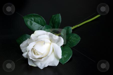 White single rose stock photo, White single rose on a black background by olinchuk