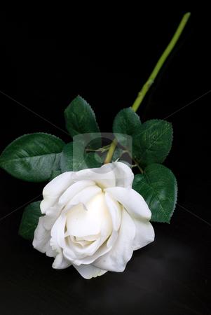 White single rose stock photo, White single rose on a dark background by olinchuk