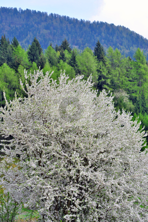 Cherry blossoms stock photo, cherry tree with the background mountain forest of spruce and pine by freeteo