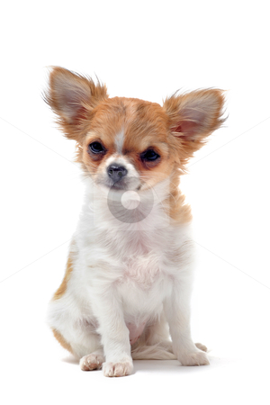 Puppy chihuahua stock photo, portrait of a cute purebred  puppy chihuahua in front of white background by Bonzami Emmanuelle