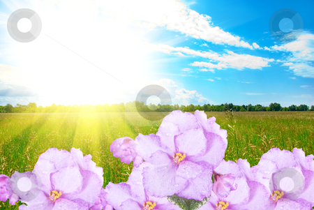 Violet stock photo, violet at green grass field and perfect blue sky by olinchuk
