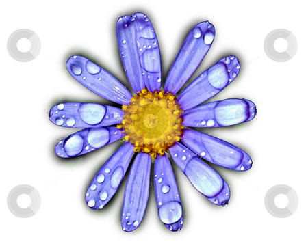 Daisy Rain stock photo, A blue daisy isolated on white with water droplets on the petals. by thisboy