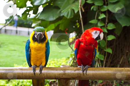 Two macaw parrots on the fence stock photo, Two beautifull macaw parrots sitting on wool by Tomislav Konestabo