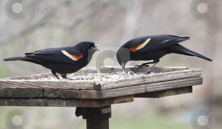Two Red-winged Blackbirds stock photo, Two red-winged blackbirds (Agelaius phoeniceus) eating at a bird feeder. by Chris Hill