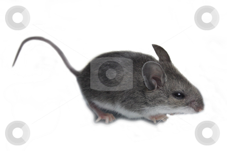 Mouse Isolated on White stock photo, A mouse (mus) isolated against a white background.  by Chris Hill
