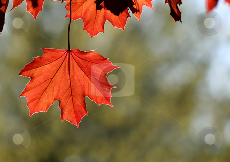 Copper Fall Leaves stock photo, A backlit Red Maple leaf shot from a beneath.  by Chris Hill
