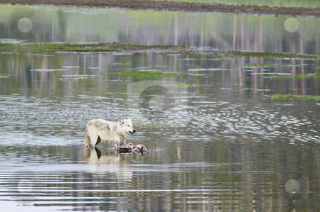 Gray Wolf feeding, nature stock photography stock photo, Gray Wolf feeding on prey in water in Yellowstone National Park, nature stock photography by Bryan Mullennix