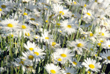 Daisies in Field stock photo, Daisies, blowing in field, nature stock photography by Bryan Mullennix