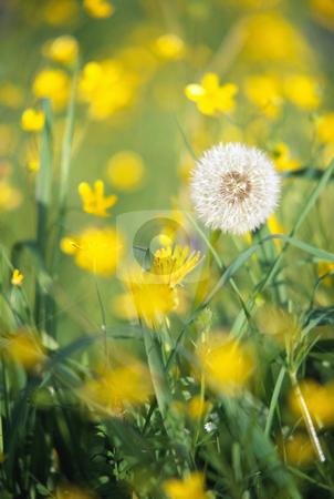 Dandelion stock photo, dandelion in field, nature stock photography by Bryan Mullennix