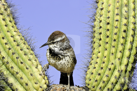 Cactus Wren stock photo, A small cactus wren standing on a cactus by Don Fink
