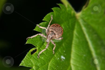 Weevil (Curculio) stock photo, Weevil (Curculio) on a leaf by Torsten Dietrich