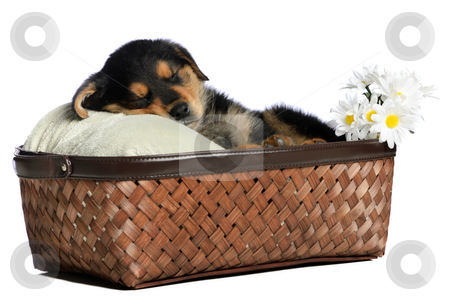 Sleeping Puppy stock photo, A sleeping puppy is having a nap in a basket, isolated against a white background. by Richard Nelson