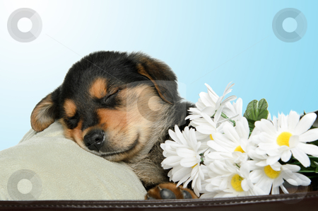 Puppy stock photo, A puppy is having a nap and is covered in daisies. by Richard Nelson