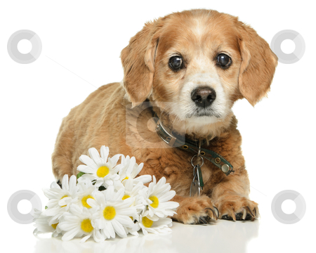 Adult Cockapoo Dog stock photo, An old adult Cockapoo dog is lying down with some fake daisies, isolated on a white background. by Richard Nelson