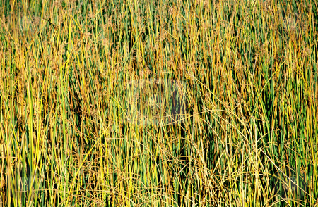 Reeds on Lake stock photo, Pattern of reeds along bank of lake, nature stock photography by Bryan Mullennix
