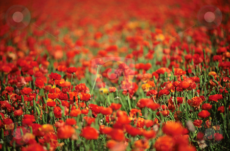 Red Ranunculus flowers, nature stock photography stock photo, Field of red Ranunculus flowers, nature stock photography by Bryan Mullennix