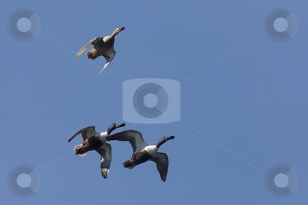 Ducks in Flight stock photo, Ducks in Flight in Saskatchewan Canada blue sky by Mark Duffy