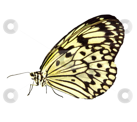 Butterfly - Photo Object stock photo, White tree Nymph butterfly (Idea leuconoe), includes clipping path by Bryan Mullennix