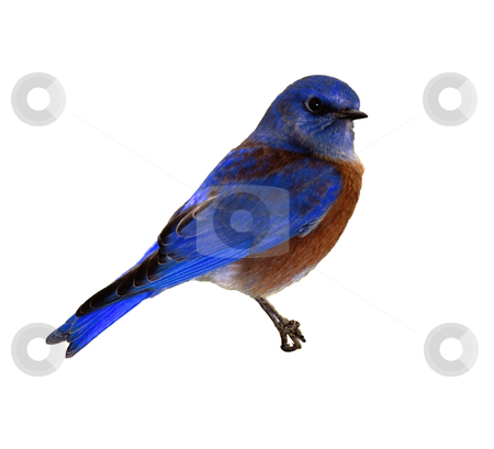 Bird - Photo Object  stock photo, Western Bluebird, includes clipping path by Bryan Mullennix