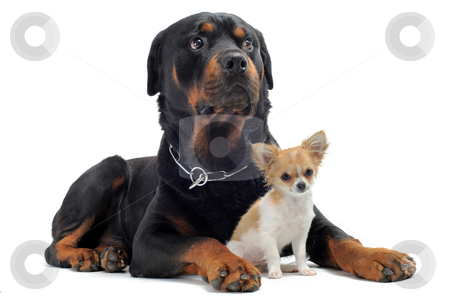 Rottweiler and puppy chihuahua stock photo, portrait of a purebred rottweiler and puppy chihuahua in front of white background by Bonzami Emmanuelle