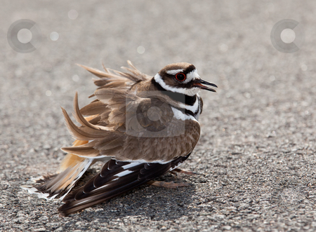 Killdeer bird warding off danger stock photo, Killdeer birds lay their eggs on the ground by the side of roads and display an aggressive posture to ward of any dangerous animals by Steven Heap
