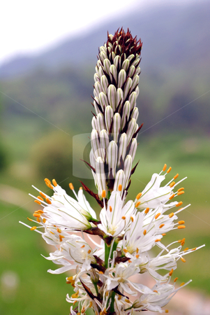 Mountain flowers stock photo, mountain flowers white with yellow stamens in the valleys of Trentino in the province of Trento by freeteo