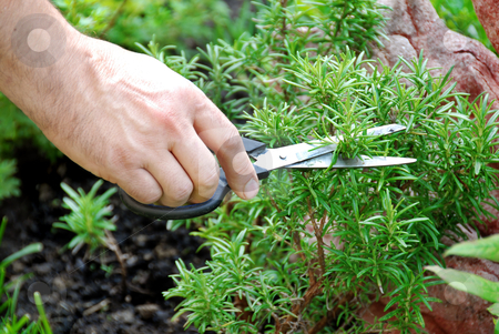 Rosemary seasoning garden stock photo, hand cutting a green fresh rosemary branch in seasoning garden by Julija Sapic