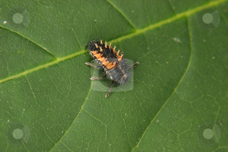 Ladybird beetle larva (Coccinella) stock photo, Ladybird beetle larva (Coccinella) on a plant by Torsten Dietrich
