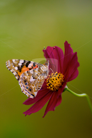 Painted Lady butterfly stock photo, Painted Lady butterfly and Cosmos by Jim Mayes