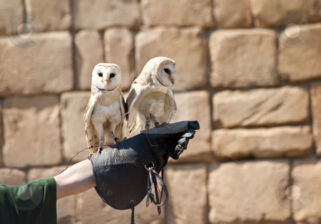 Barn Owl (Tyto Alba) stock photo, The Barn Owl (Tyto alba) is the most widely distributed species of owl, and one of the most widespread of all birds. It is also referred to as Common Barn Owl, to distinguish it from other species in the barn-owl family Tytonidae. by Perseomedusa