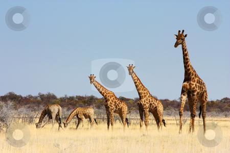 Group of giraffes stock photo, Namibian wild life, Etosha park, dry season by Perseomedusa